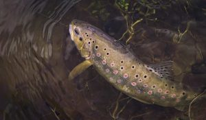 Spotted Trout Lures | Panther Martin