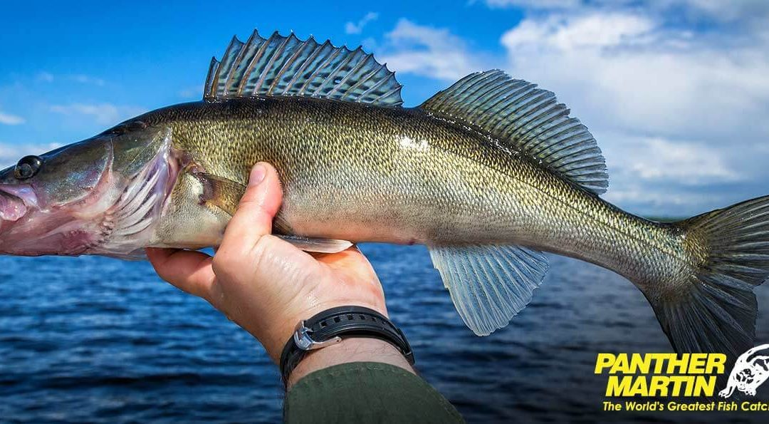 Catching Walleye with Panther Martin Spinners